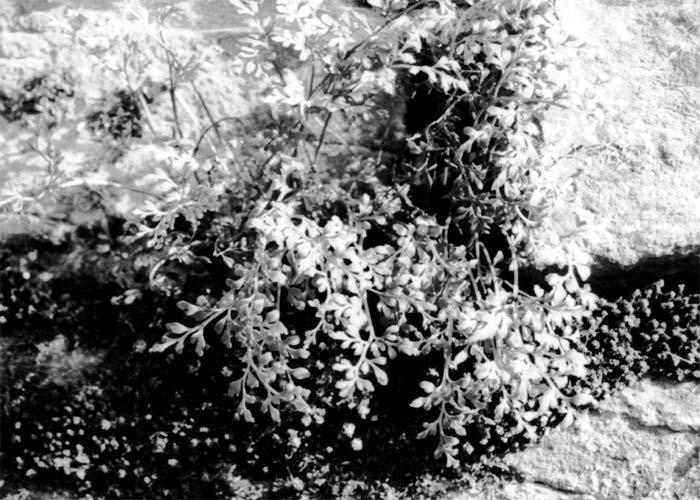 Bild 2: Nicht wegzudenken aus der Flora ist die Mauerraute