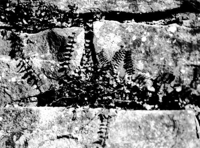 Bild 3: Ein typischer Besiedler einer Bruchsteinmauer ist der Braune Streifenfarn