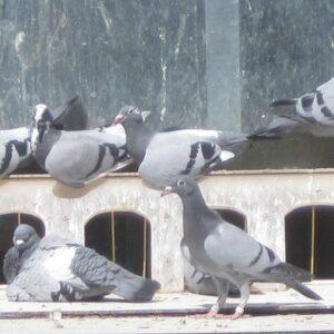 Elf Westönner Tauben unter den ersten 100